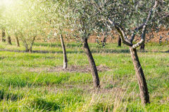 Sunrise landscape of Olive trees plantation, harvest Stock Photos