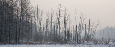 Sunrise before landscape with riparian forest. Stand in winter with some dead tree royalty free stock photography