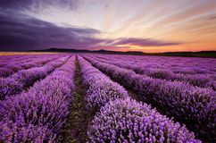 Sunrise in Lavender Field Stock Images