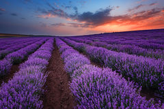 Sunrise at lavender field near the town of Burgas, Bulgaria. Magnificent summer sunrise at lavender field near the town of Burgas, Bulgaria royalty free stock photography