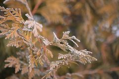 Frosty branch of the thuja stock photo