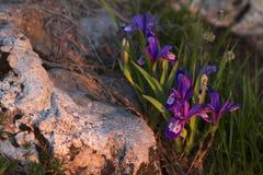 Sunrise light on a mountain flower Stock Photography