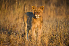Sunrise Lion Stock Images