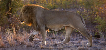 Sunrise Lion Royalty Free Stock Photography