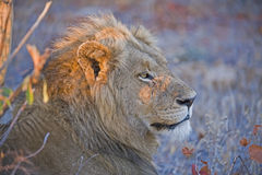 Sunrise Lion Stock Image
