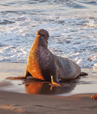 Sunrise Lit Triumphant Elephant Seal. A bull Northern Elephant seal trumpeting in the early morning light along California's Big Sur Pacific Coast Highway Stock Images