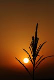 Sunrise with maize bloom contre-jour Royalty Free Stock Image