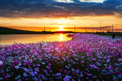 Sunrise mapping calliopsis_scenery Royalty Free Stock Photography
