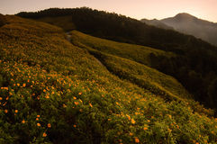 Sunrise at mexican sunflower weed on the hill, Thailand. Royalty Free Stock Images