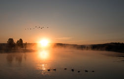 Sunrise mist on the Yellowstone River with Canadian Geese flying over swimming Trumpeter Swans in the Hayden Valley Royalty Free Stock Images
