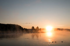 Sunrise mist on the Yellowstone River with Canadian Geese flying over swimming Trumpeter Swans in Hayden Valley of Yellowstone NP Royalty Free Stock Photo