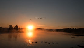 Sunrise mist on the Yellowstone River with Canadian Geese flying over Trumpeter Swans in the Hayden Valley of Yellowstone Stock Photo