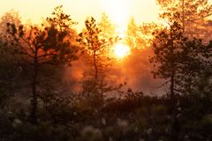 Sunrise in a misty Estonian bog. A beautiful sunrise in Estonian bog during the foggy summer morning. A truly wild and wet place royalty free stock image