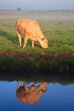 Sunrise with morning dew and cow Stock Photography