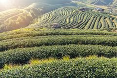 Sunrise in the morning with white fog at green terraced tea plantation 2000 Doi Ang khang Chiang Mai Thailand stock photos