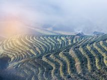 Sunrise in the morning with white fog at green terraced tea plantation 2000 Doi Ang khang the north of Thailand Stock Photography