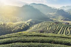 Sunrise in the morning with white fog at green terraced tea plantation 2000 Doi Ang khang the north of Thailand Stock Images