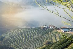 Sunrise in the morning with white fog at green terraced tea plantation 2000 Doi Ang khang the north of Thailand Royalty Free Stock Photography