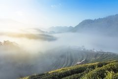Sunrise in the morning with white fog at rows of green terraced tea plantation with old huts on highland Royalty Free Stock Photography