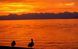 Sunrise in Nyon Switzerland. Sunrise, Geneve lake, Swiss with the ducks Royalty Free Stock Photos