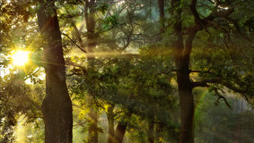 Sunrise in the oak forest Royalty Free Stock Photos