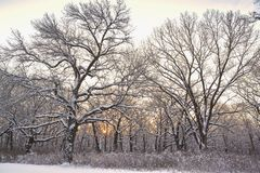 Sunrise in oak forest,winter. royalty free stock image