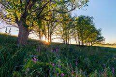 Sunrise in oak grove. Summertime Royalty Free Stock Image