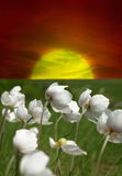 Sunrise Of Camomile Field Royalty Free Stock Photos