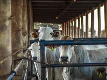 Free Sunrise Of Cattle On Confinement Stock Images - 146600974