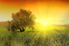 Sunrise and olive tree. Olive tree in a green field during sunrise Stock Photo