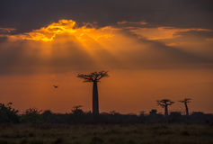 Sunrise over Avenue of the baobabs, Madagascar Stock Images