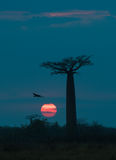 Sunrise over Avenue of the baobabs, Madagascar Royalty Free Stock Photography