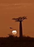 Sunrise over Avenue of the baobabs, Madagascar Stock Photography