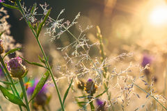 Sunrise over a blossoming meadow Royalty Free Stock Image
