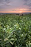 Sunrise over a broad bean plantation. Sunrise over a field of broad beans ready for harvest in early summer Royalty Free Stock Photos