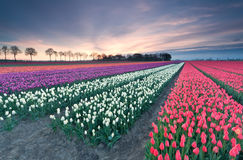 Sunrise over colorful tulip field Royalty Free Stock Photography