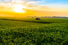 Sunrise over the corn field Royalty Free Stock Images