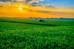Sunrise over the corn field Stock Images