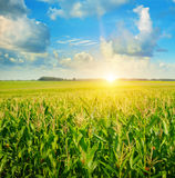 Sunrise over the corn field Royalty Free Stock Photography