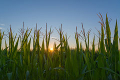 Sunrise over cornfield royalty free stock photo