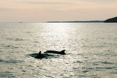 Sunrise over dolphins at sea Stock Images