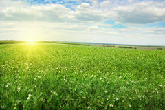 Sunrise over field pea Stock Photography