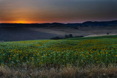 Sunrise over the field with sunflowers Stock Images