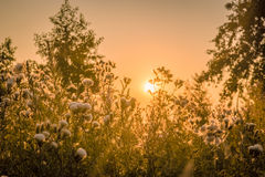 Sunrise over a field with thistle flowers Royalty Free Stock Photo