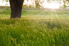 Sunrise over a field of wheat Royalty Free Stock Photo