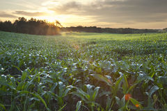 Sunrise over a field of young corn. Early morning shot of young corn in a field Stock Photos