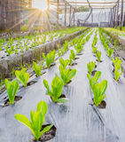Sunrise over a field of young fresh green maize plants Stock Photography