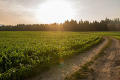 Sunrise over a field of young maize plants Royalty Free Stock Images