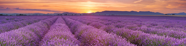 Sunrise over fields of lavender in the Provence, France. Sunrise over blooming fields of lavender on the Valensole plateau in the Provence in southern France Stock Images