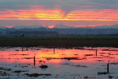 Sunrise over Flooded Cranberry Fields Royalty Free Stock Photography